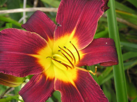 Red Yellow Flower 2