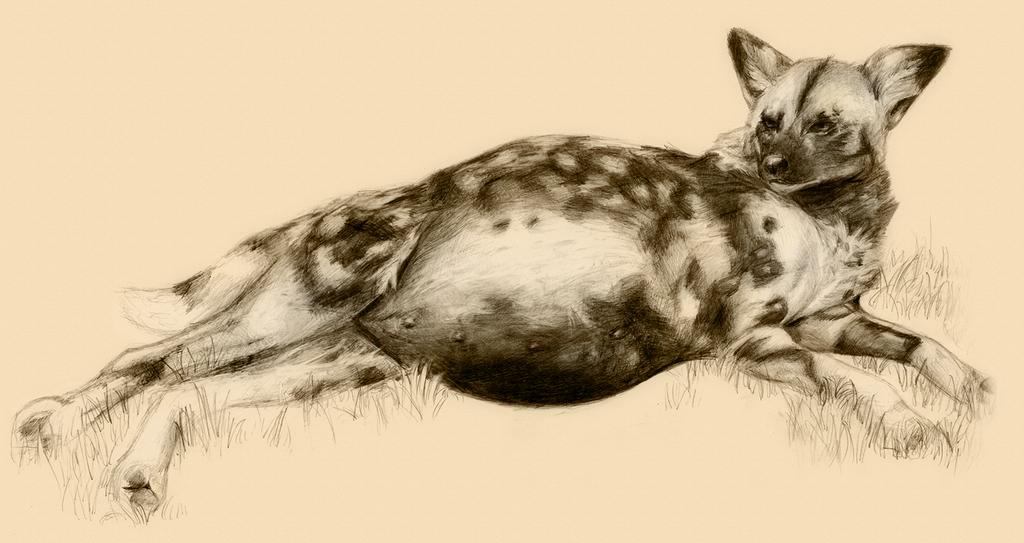 pregnant african wild dog by littlepolka on deviantart