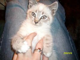 Kitten by NightOfRavens