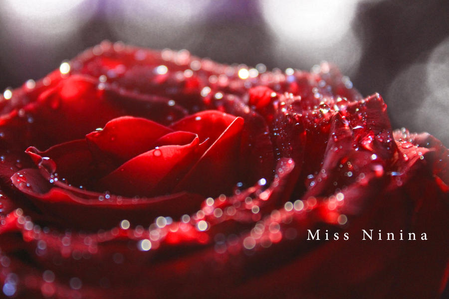 Red Rose by Miss-NiNiNa