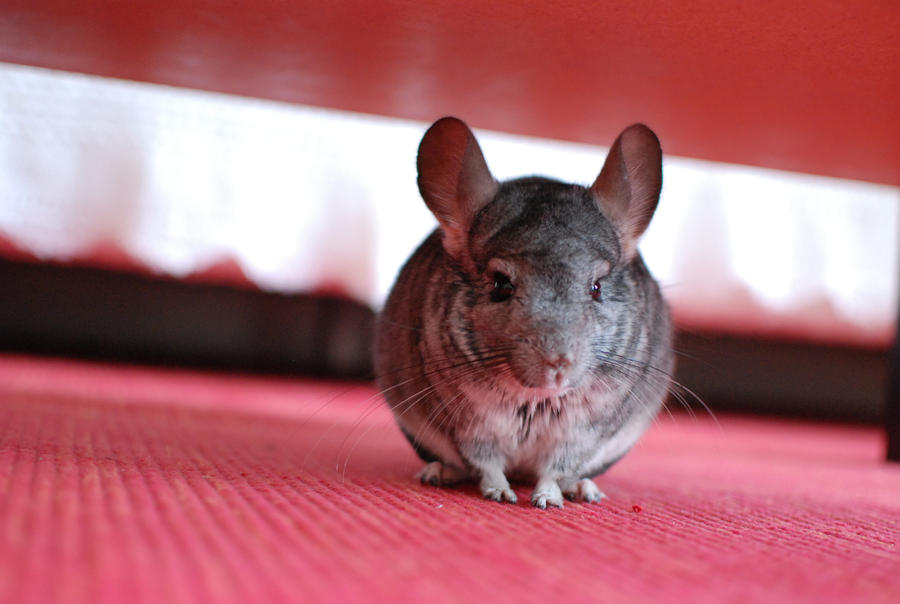 My chinchilla by Lingxu-LM