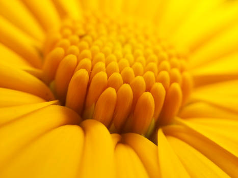 The middle of a sunflower