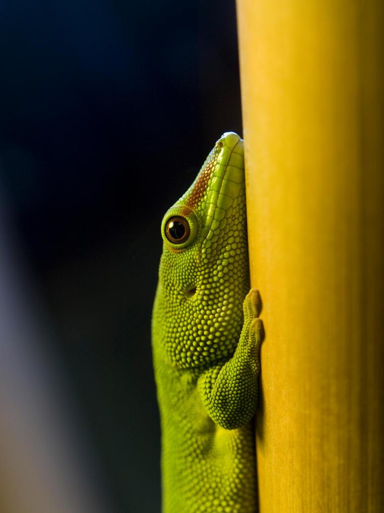 Macro Gecko by mattaphore