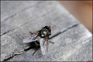 The Fly by Tapola