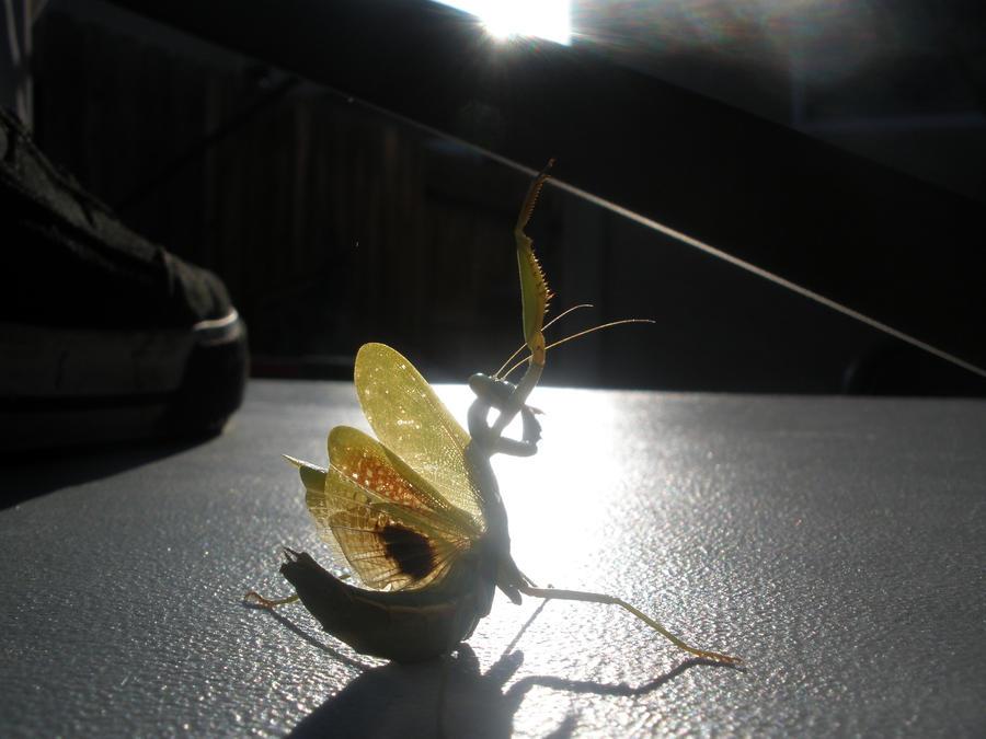 kung fu mantis by zografizo