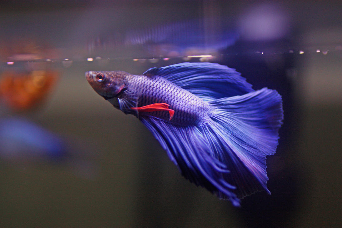 Betta at feeding time by magicia on deviantart for What to feed betta fish