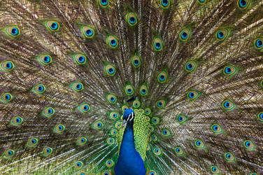 peacock by turtlepalooza
