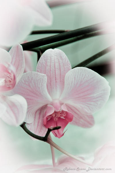 Pink Orchid by rcovelo