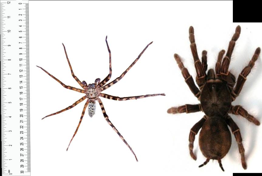 G. Huntsman vs G. Tarantula by Creeper113 on DeviantArt