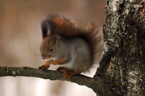 Red Squirrel by Hannu-H