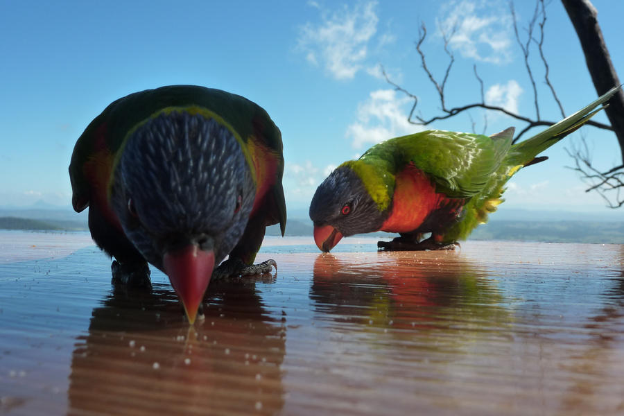 Photography - Page 2 Sugar_Lorikeets_by_RedCrimson
