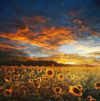 Sunflower Field  by MagicAngel8773