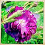 purple thorny rose