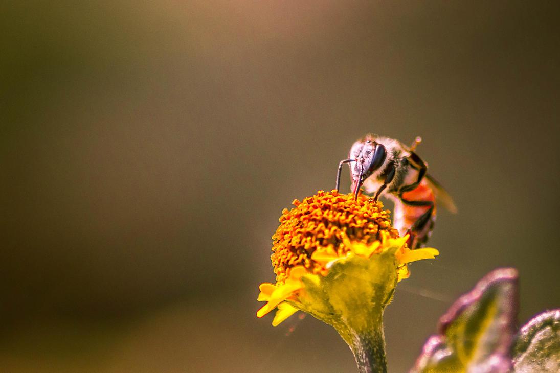 Honey bee 2 by SnapShotDataBase