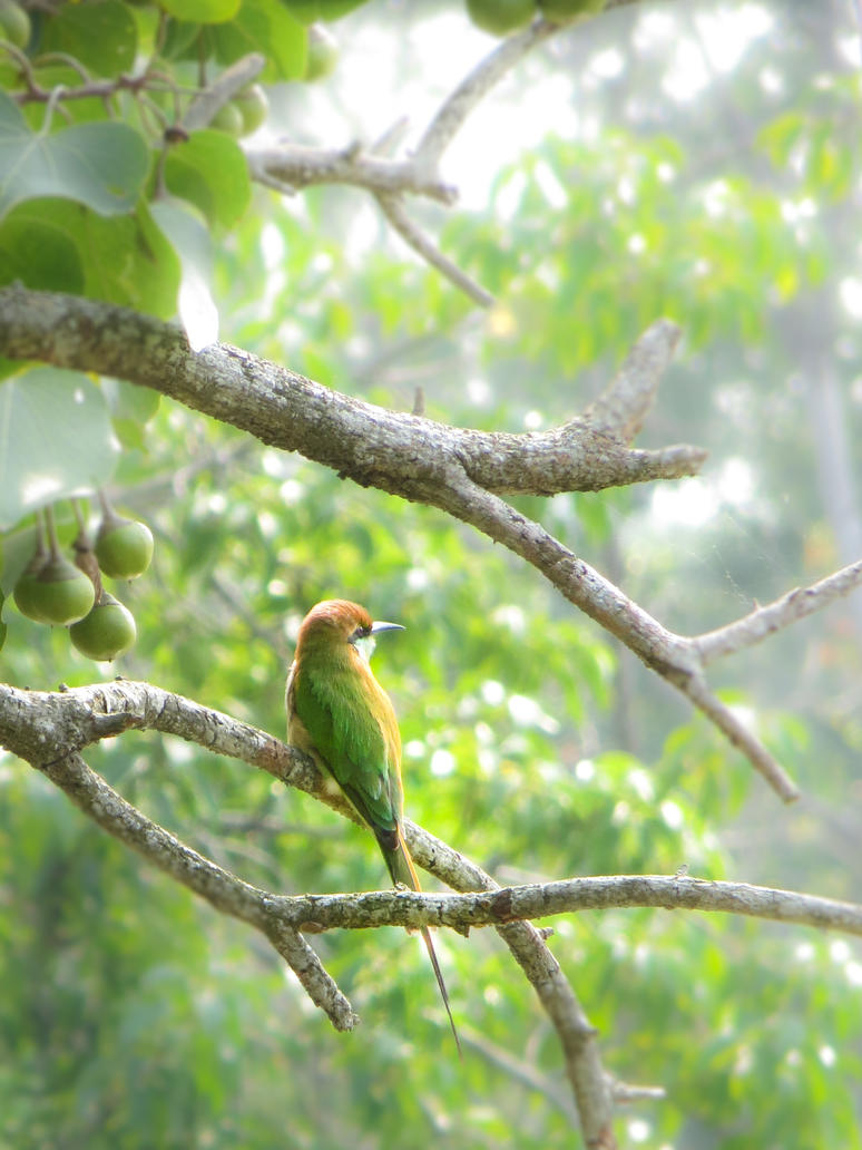 green bee eater by SnapShotDataBase