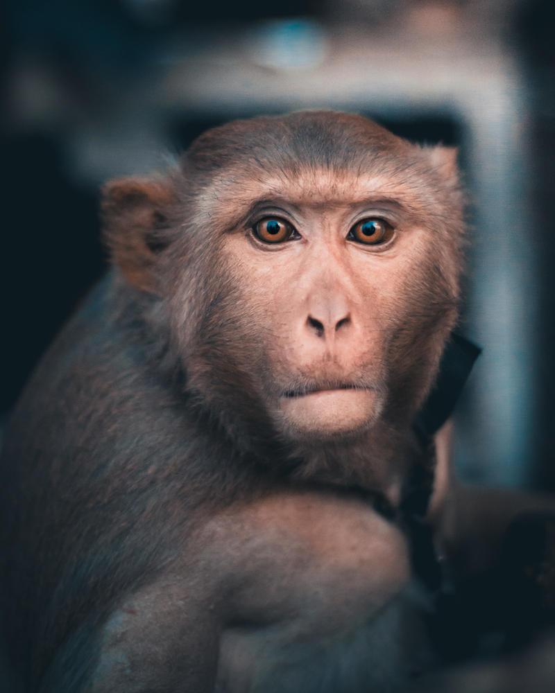 portrait of a monkey by SnapShotDataBase
