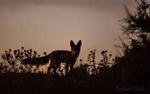 Foxy by Annabelle-Chabert