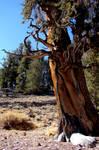 Bristlecone Pine - stock