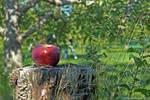 Thanksgiving apple