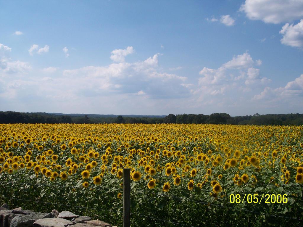 sunflower fields 2 by - photo #35