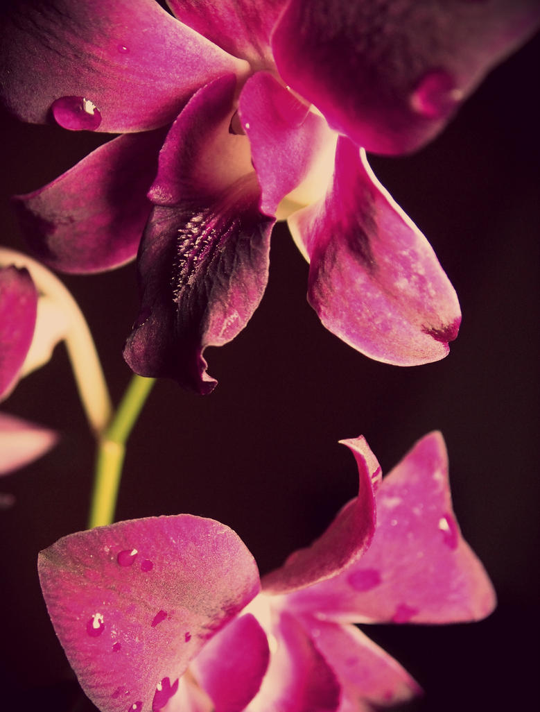 Orchid by ILoveCloudyDays