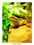 Amphibolurus Vitticeps