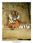 Panthera Tigris Corbetti by Pegasus-Express