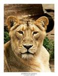 Panthera Leo Persica 02