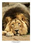 Panthera Leo Persica 03