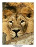 Panthera Leo Persica 04