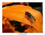 Parasyrphus Annulatus 02