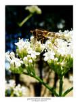 Parasyrphus Annulatus 03
