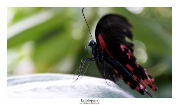 Lepidoptera 04