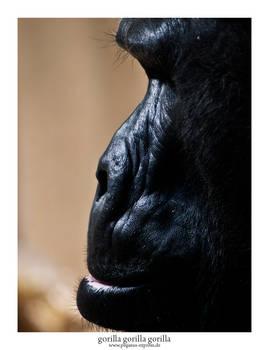 Gorilla Gorilla Gorilla 03