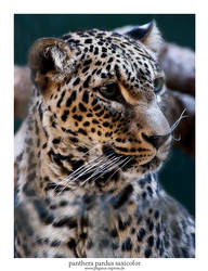 Panthera Pardus Saxicolor 03 by Pegasus-Express