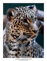 Panthera Pardus Saxicolor 03