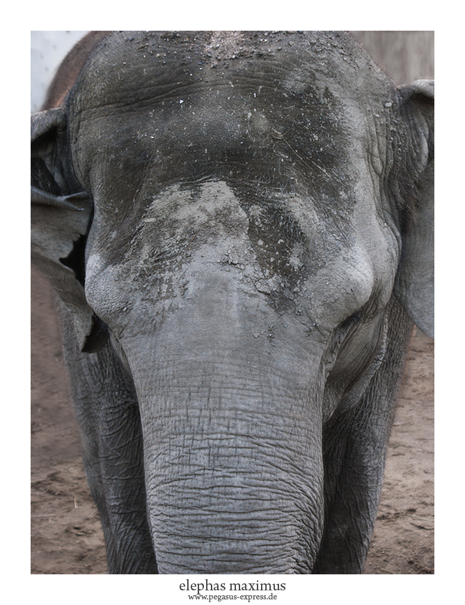 Elephas Maximus by Pegasus-Express