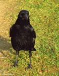 Corneille noire - Carrion crow - Corvus corone5439