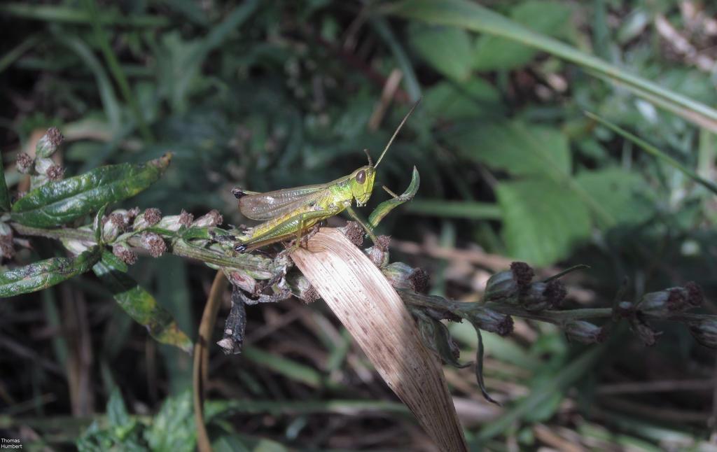 Criquet - Locust by ThomasHumbertRaven