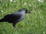 Choucas des tour - Jackdaw - Corvus monedula