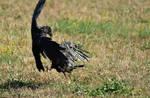 Corneille noire - Carrion crow - Corvus corone