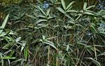 Bamboo - Bambou du Japon - Pseudosasa japonica