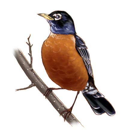 American robin bird by vrm1979 on DeviantArt  Bird