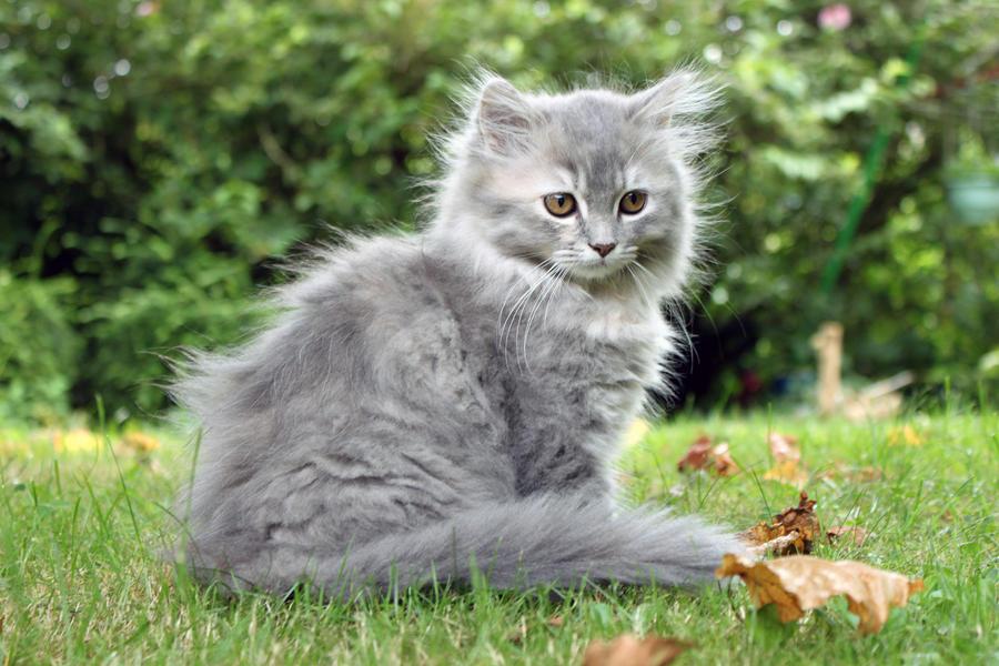 fluffy light gray cat -#main