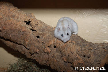 Rescued dwarf hamster by Itzeflitze