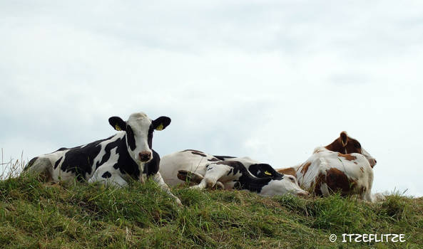 Relaxing Cows