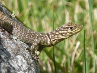 A Lizard at Machu Picchu by misiaclive