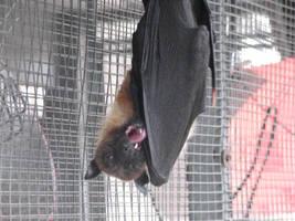 Raja's tongue by Aemiis-Zoo