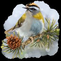 Goldcrest sitting on a spruce branch by Kajenna