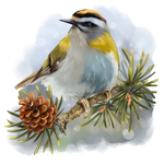 Goldcrest sitting on a spruce branch